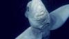 Nu ai mai văzut așa ceva! O viețuitoare stranie, surprinsă în adâncurile oceanului (VIDEO)