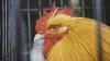 UE a interzis importurile de carne de pasăre din Ucraina, din cauza gripei aviare