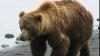 Au chinuit un urs până când l-au ucis! Un grup de bărbați ruși este anchetat penal
