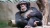 STUDIU: Cum se recunosc cimpanzeii între ei? Răspunsul te va surprinde