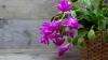 Un dar frumos de sărbători! Cum se înmulțește ușor cactusul de Crăciun