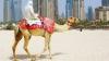 Târgul celor mai frumoase cămile, în Emiratele Arabe. Festivalul a adunat zeci de mii de exemplare (VIDEO)