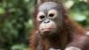 Cât a cerut un traficant de animale pentru un pui de urangutan, adus din pădurile tropicale