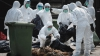 Zeci de milioane de păsări din Coreea de Sud vor fi sacrificate din cauza gripei aviare