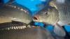CONTROALE CU SCANDAL la Piața Centrală. Furnizorii de peşte, fără acte de provenienţă a mărfii