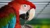 """Un papagal, vedetă pe Internet, după ce a fost surprins cum cântă piesa interpretei Sia """"Chandelier"""""""