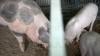 VESTE BUNĂ! Ce au arătat probele de laborator privind focarele de pestă porcină, depistate în nordul ţării