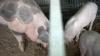 Sărbătoarea Ignatului: Se sacrifică porcul pentru masa de Crăciun. Ce trebuie să ştie femeile însărcinate