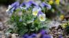 SUNT PERICULOASE! Florile din grădină despre care nu ştiai că te pot omorî