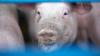 TRADIŢII ŞI OBICEIURI de Ignat: De ce se taie porcul pe 20 decembrie