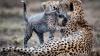 Gheparzii ar trebui să fie incluşi pe lista animalelor pe cale de dispariţie