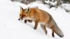 SCENE COMICE în lumea animalelor. Ce a păţit o vulpe în timp ce a sărit în zăpadă după pradă (VIDEO)