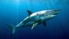 CLIPE DE GROAZĂ! Un rechin de cinci metri s-a apropiat de un scafandru (VIDEO)