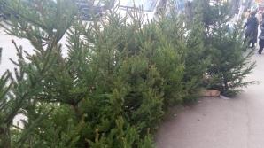 Frumoşi şi arătoşi! Brazii naturali au apărut deja în pieţe. Care este preţul pomilor de Crăciun (FOTO)