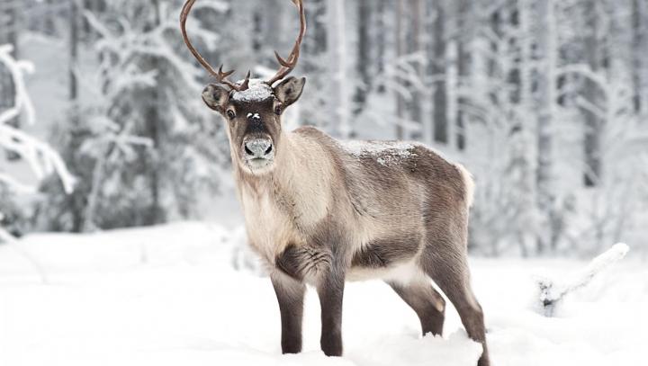 ALARMANT! Ce efect are încălzirea globală asupra renilor de la Polul Nord