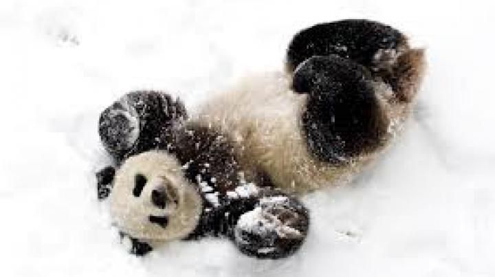 Lupta APRIGĂ a unui panda cu omul de zăpadă. Află cine a câştigat (VIDEO)