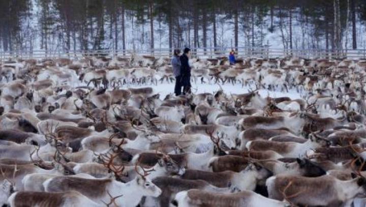 EFECTUL DRAMATIC al dezastrului de la Cernobîl! Ce se întâmplă cu renii de lângă Polul Nord