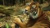Junglele, destinații de vacanță: Turiștii se pot plimba cu mașina printre lei și tigri