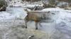 """INCREDIBIL! O vulpe prinsă într-un cub de gheaţă, """"pescuită"""" din Dunăre de un vânător (VIDEO VIRAL)"""
