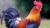Vietnamezii se pregătesc de Anul Nou. Pentru a avea noroc îşi cumpără cocoși cu pene lungi și colorate
