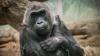Colo, cea mai bătrână gorilă din captivitate, a murit în somn la 60 de ani