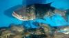 Din culisele celei mai rare profesii din Moldova: Cine sunt cei care crează noi specii de peşti