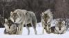 Lupii fac prăpăd într-un sat din raionul Sîngerei. Răpitorii au rupt în bucăţi mai multe oi