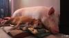 Au adoptat un mini-porc de companie. Au rămas ŞOCAŢI când acesta a ajuns să cântărească 300 de kg