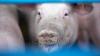 Un porc a devenit vedetă datorită greutății sale impresionante. Cât cântăreşte scroafa (VIDEO)