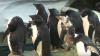Un pinguin simpatic și-a recuperat penajul, grație unui costum termic (VIDEO)