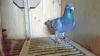 Performanță uimitoare! Record de viteză a unui porumbel care a zburat de la Berlin la Oradea în 14 ore