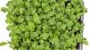 Cum cultivi rucola la ghiveci, să ai salate proaspete și iarna