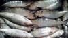 Peştele de import, PLIN DE PARAZIȚI. Recomandările specialiştilor pentru a evita intoxicaţiile