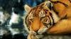 Cea mai mare felină din lume, dispărută acum 57 de ani, va fi readusă la viaţă