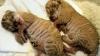 Bucurie mare într-o grădină zoologică din Rusia. A fost adus pe lume un ligru. Cum se numeşte puiul