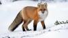 Pare IREAL! O vulpe a fost găsită DEGERATĂ într-un cub de gheață (GALERIE FOTO)