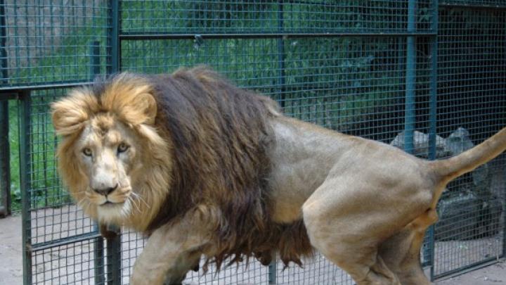 CLIPE DE GROAZĂ! Doi îngrijitori de animale, răniți GRAV de un leu pe care încercau să îl spele