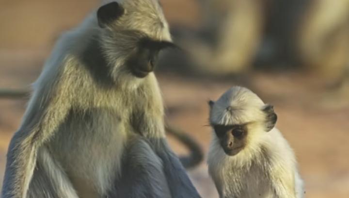 """SCENE EMOŢIONANTE! Reacția unor maimuțe la """"moartea"""" unui pui robotizat (VIDEO)"""