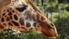 Cea mai bătrână girafă din lume a murit. CÂŢI ANI avea Luga