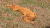 NO COMMENT! În Carolina de Nord a fost descoperit un aligator PORTOCALIU (VIDEO)