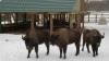 """Animalele din rezervația """"Pădurea Domnească"""", ajutate de îngrijitori să treacă iarna"""