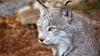 Animal extrem de rar surprins de camerele de supraveghere din pădure. Vânătorul discret şi-a făcut apariţia (VIDEO)