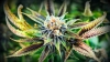 Încă o ţară europeană va legaliza cultivarea cannabisului