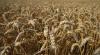 O nouă boală virulentă amenință recoltele de grâu din Europa și Africa de Nord