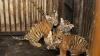 IMPRESIONANT! Trei pui de tigru, rămași orfani în India cresc alături de o MAMĂ DIN PLASTIC
