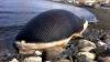 Au găsit o balenă moartă pe o plajă, iar înainte să o ardă au decis să o taie. Ce au găsit în interior (VIDEO)