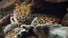 """""""LifeStyle. Leopardul de amur, cea mai rară specie de felină mare de pe glob"""
