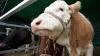 Familia unei femei ucise de o vacă pe o pășune cere daune de 360.000 de euro
