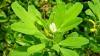 Tratament naturist pentru diabet. Această plantă are puteri miraculoase