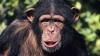 Scene terifiante filmate în lumea animală. Fostul lider al unui grup de cimpanzei, TORTURAT şi MÂNCAT (VIDEO)